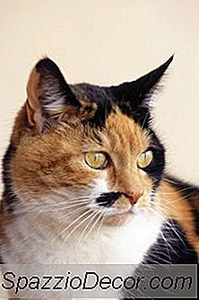 Krijgt Calico Cats Meer Diabetes?
