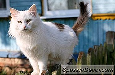 Os Gatos Têm Nervos Nas Caudas?