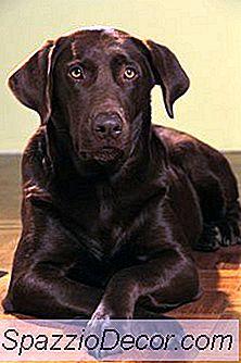 Um Chocolate Labrador Tem Cabelo Branco?