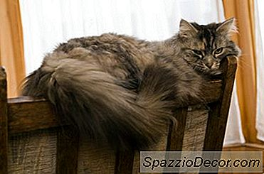 Hambre Excesivo Y Sed En Gatos Geriátricos
