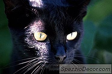Sarcoma Sarcinii Și Chisturile La Pisici