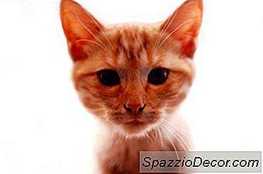 Ginger Tabby Personalidad