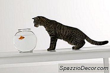 Cum Reacționează Goldfish La Oglinzi?