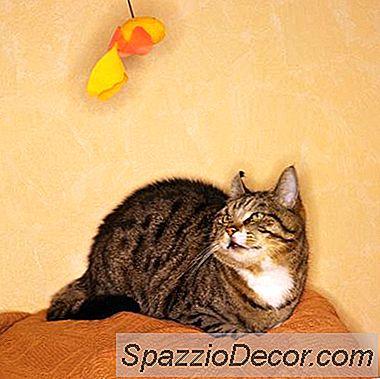 Hvor Lenge Kan En Katt Bli Alene?