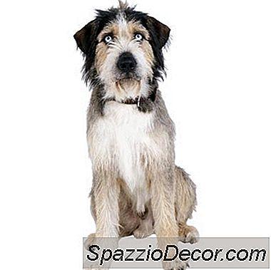 Hvor Lang Tid Bærer Hunde Hunde Deres Hvalpe?