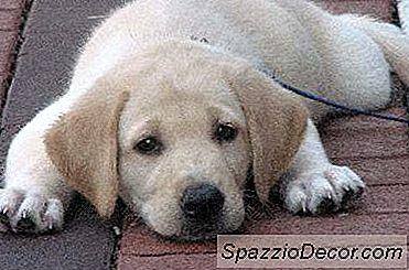 ¿Con Qué Frecuencia Los Perros Necesitan La Vacuna Parvo?