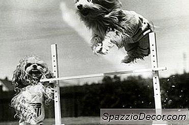 Hoe Hond Behendigheid Obstakels Te Bouwen