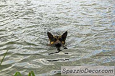 Hvordan Få En Hund Til Å Svømme