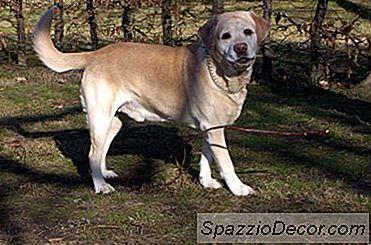 Cómo Conseguir Que Un Labrador Retriever Deje De Cavar