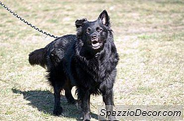 Hoe Een Volwassen Hond Housebreak