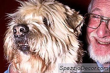 Como Cuidar De Um Casaco De Terrier De Trigo