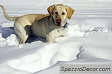 Creșterea Cantității De Alimente Pentru Un Câine Labrador În Iarna