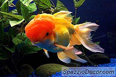 Apresentando Novo Goldfish Para Um Tanque