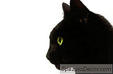 Lymfadenopathie Bij Katten
