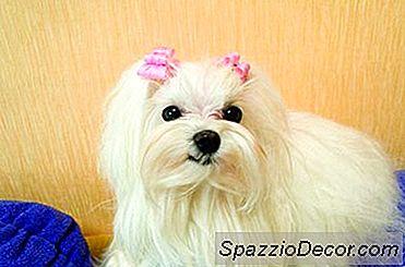 Maltese Hunder Beskrivelse