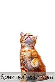 Preferência Da Pata Nos Gatos
