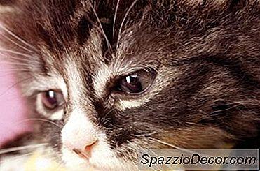 Prednisona Para El Alivio Del Dolor Para Los Gatos