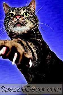 Camas De Unhas Infectadas Recorrentes Em Gatos