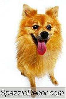Restlessness In A Pomeranian