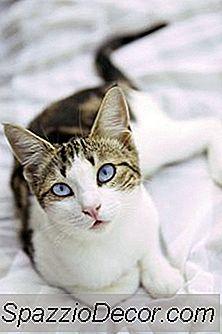 ¿Debe Bañar A Los Gatos Con La Suciedad De La Pulga En Ellos?
