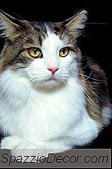 Taurina E Cardiomiopatia Em Gatos