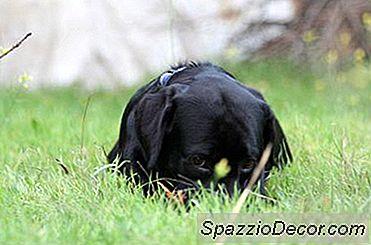 Cronometraje Para La Esterilización De Un Cachorro Labrador Retriever