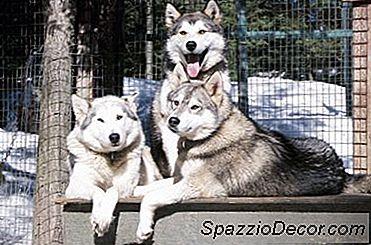Welke Oorzaken Dunne Lagen Op Husky Honden?
