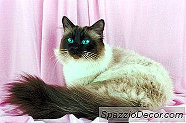 Apakah Kepribadian Kucing Himalaya 2020