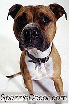 De Ce Câinii De La Staffordshire Terrier Primesc Picioare Rigide?
