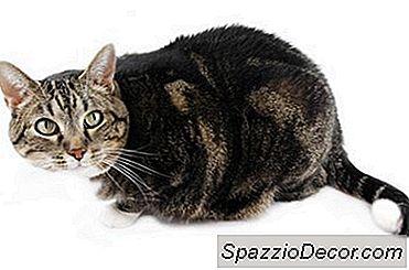 Hvorfor Knytter En Katt Sin Hale?
