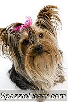 Yorkie Sygdomme