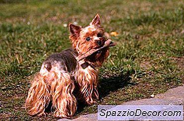 Yorkie Terrier-Gedrag